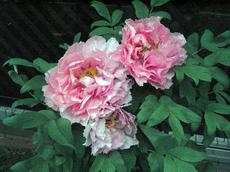 2010牡丹.jpg