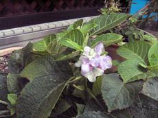 9月の紫陽花.jpg