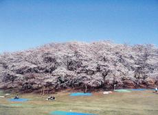 森林公園桜2012.jpg