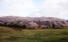 2013:3:26根岸森林公園.jpg