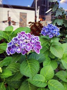 紫陽花2013/6.jpg