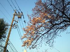2014-03-28港の見える丘公園桜.jpg