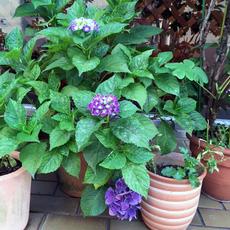 紫陽花2016.jpg